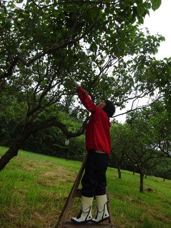 梅の収穫に行ってきました。